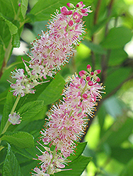 Ruby Spice Summersweet (Clethra alnifolia 'Ruby Spice') at Green Acre Farm & Nursery