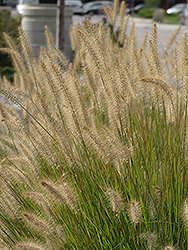 Hameln Dwarf Fountain Grass (Pennisetum alopecuroides 'Hameln') at Green Acre Farm & Nursery
