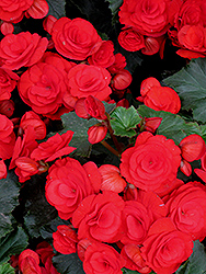 Nonstop® Red Begonia (Begonia 'Nonstop Red') at Green Acre Farm & Nursery