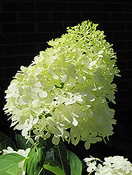 Limelight Hydrangea (Hydrangea paniculata 'Limelight') at Green Acre Farm & Nursery