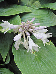 Halcyon Hosta (Hosta 'Halcyon') at Green Acre Farm & Nursery