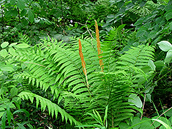 Cinnamon Fern (Osmunda cinnamomea) at Green Acre Farm & Nursery