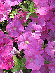 Easy Wave® Pink Petunia (Petunia 'Easy Wave Pink') at Green Acre Farm & Nursery