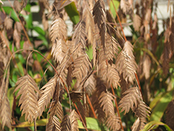 Northern Sea Oats (Chasmanthium latifolium) at Green Acre Farm & Nursery