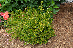Wedding Ring® Boxwood (Buxus microphylla 'Eseles') at Green Acre Farm & Nursery