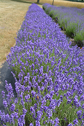 Hidcote Lavender (Lavandula angustifolia 'Hidcote') at Green Acre Farm & Nursery
