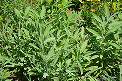 Common Sage (Salvia officinalis) at Green Acre Farm & Nursery