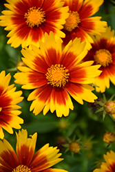UpTick™ Gold and Bronze Tickseed (Coreopsis 'Baluptgonz') at Green Acre Farm & Nursery