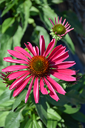Kismet® Raspberry Coneflower (Echinacea 'TNECHKR') at Green Acre Farm & Nursery