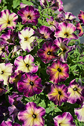 Crazytunia® Moonstruck Petunia (Petunia 'Crazytunia Moonstruck') at Green Acre Farm & Nursery