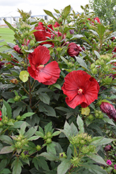 Cranberry Crush Hibiscus (Hibiscus 'Cranberry Crush') at Green Acre Farm & Nursery