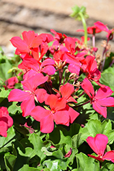 Caliente® Magenta Geranium (Pelargonium 'Caliente Magenta') at Green Acre Farm & Nursery