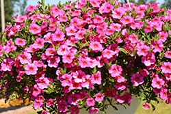 Aloha Kona Hot Pink Calibrachoa (Calibrachoa 'Aloha Kona Hot Pink') at Green Acre Farm & Nursery