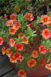 Aloha Kona Hot Orange Calibrachoa (Calibrachoa 'Aloha Kona Hot Orange') at Green Acre Farm & Nursery