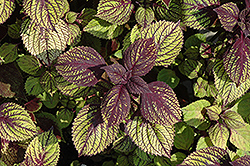 Fishnet Stockings Coleus (Solenostemon scutellarioides 'Fishnet Stockings') at Green Acre Farm & Nursery