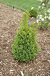 Green Mountain Boxwood (Buxus 'Green Mountain') at Green Acre Farm & Nursery