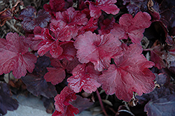 Galaxy Coral Bells (Heuchera 'Galaxy') at Green Acre Farm & Nursery