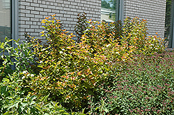 Amber Jubilee™ Ninebark (Physocarpus opulifolius 'Jefam') at Green Acre Farm & Nursery