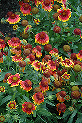 Arizona Sun Blanket Flower (Gaillardia x grandiflora 'Arizona Sun') at Green Acre Farm & Nursery