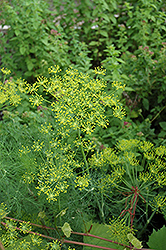 Dill (Anethum graveolens) at Green Acre Farm & Nursery