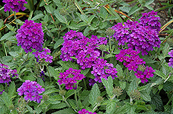 EnduraScape™ Dark Purple Verbena (Verbena 'Balendakle') at Green Acre Farm & Nursery