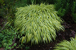Golden Variegated Hakone Grass (Hakonechloa macra 'Aureola') at Green Acre Farm & Nursery