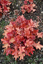 Peach Flambe Coral Bells (Heuchera 'Peach Flambe') at Green Acre Farm & Nursery