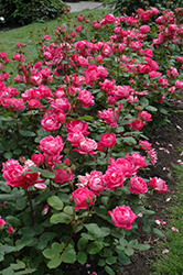 Double Knock Out® Rose (Rosa 'Radtko') at Green Acre Farm & Nursery