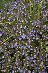 Crystal River Speedwell (Veronica 'Reavis') at Green Acre Farm & Nursery