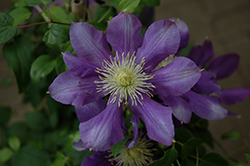 Chevalier Clematis (Clematis 'Evipo040') at Green Acre Farm & Nursery