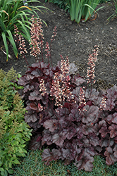 Grape Expectations Coral Bells (Heuchera 'Grape Expectations') at Green Acre Farm & Nursery