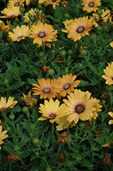 Zion Magic Orange African Daisy (Osteospermum 'Zion Magic Orange') at Green Acre Farm & Nursery