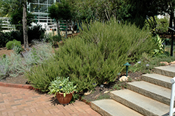 Rosemary (Rosmarinus officinalis) at Green Acre Farm & Nursery