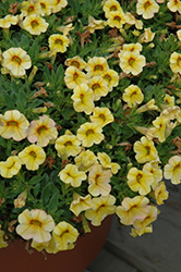 Conga™ Yellow Calibrachoa (Calibrachoa 'Conga Yellow') at Green Acre Farm & Nursery