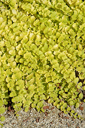 Goldilocks Creeping Jenny (Lysimachia nummularia 'Goldilocks') at Green Acre Farm & Nursery