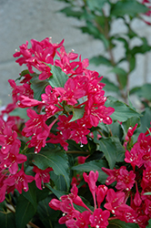 Sonic Bloom Red® Reblooming Weigela (Weigela florida 'Verweig 6') at Green Acre Farm & Nursery