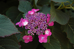Tuff Stuff™ Hydrangea (Hydrangea serrata 'MAK20') at Green Acre Farm & Nursery