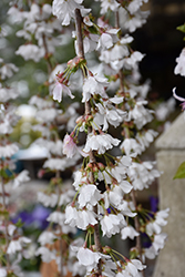 Snow Fountains Yoshino Cherry (Prunus 'Snow Fountains') at Green Acre Farm & Nursery