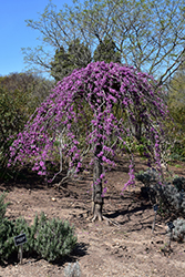 Lavender Twist Redbud (Cercis canadensis 'Covey') at Green Acre Farm & Nursery