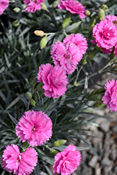 Scent First® Tickled Pink Pinks (Dianthus 'Devon PP11') at Green Acre Farm & Nursery