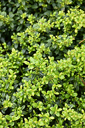 Soft Touch Japanese Holly (Ilex crenata 'Soft Touch') at Green Acre Farm & Nursery