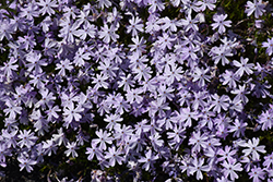 Emerald Blue Moss Phlox (Phlox subulata 'Emerald Blue') at Green Acre Farm & Nursery