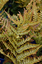 Brilliance Autumn Fern (Dryopteris erythrosora 'Brilliance') at Green Acre Farm & Nursery