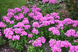 Pink Flame Garden Phlox (Phlox paniculata 'Pink Flame') at Green Acre Farm & Nursery