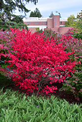 Compact Winged Burning Bush (Euonymus alatus 'Compactus') at Green Acre Farm & Nursery
