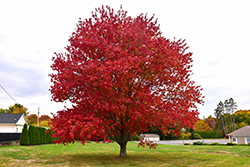 Red Maple (Acer rubrum) at Green Acre Farm & Nursery