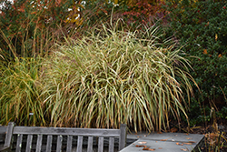 Dixieland Maiden Grass (Miscanthus sinensis 'Dixieland') at Green Acre Farm & Nursery