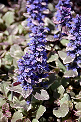 Burgundy Glow Bugleweed (Ajuga reptans 'Burgundy Glow') at Green Acre Farm & Nursery
