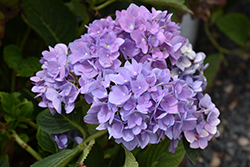 Cityline® Rio Hydrangea (Hydrangea macrophylla 'Ragra') at Green Acre Farm & Nursery