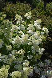 Little Lamb Hydrangea (Hydrangea paniculata 'Little Lamb') at Green Acre Farm & Nursery